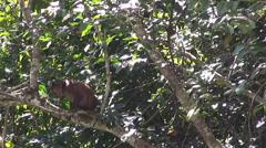 A Young Stumptail Monkey Feeding Stock Footage