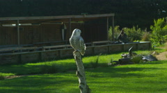 4K Snowy owl in flight at a conservation centre. No people - stock footage