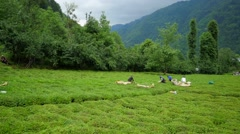 Harvested tea leaves from rize Stock Footage