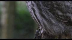 4K Close up on face of a Grey owl in natural environment Stock Footage