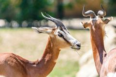 Wild Gazelles In National Park Stock Photos