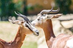 Wild Gazelles In National Park - stock photo