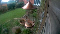 Grey Squirrel on nut feeder Stock Footage