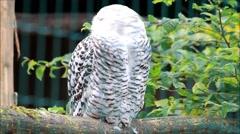 Snowy Owl, bubo scandiacus Stock Footage