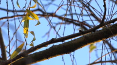 Last autumnal leaves on a weeping willow - blue sky, sunny - close up - stock footage
