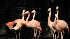 Pink flamingos in a park Stock Footage