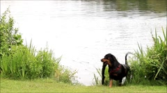 Dog fetching a stick from the lake, rottweiler Stock Footage