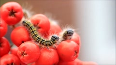 Buff tip caterpillar Phalera bucephala, Raupe Mondvogel Stock Footage
