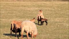 Cameroon sheep family walking on meadow in spring Stock Footage
