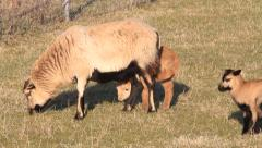 Cameroon sheep family with lambs Stock Footage