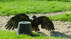 4K Bird of prey looking for scraps of meat to eat at conservation centre - stock footage