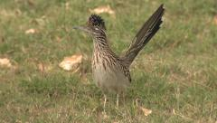 Greater Roadrunner Running at Big Bend National Park in Texas Stock Footage