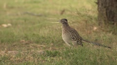 Greater Roadrunner Cuckoo at Big Bend National Park in Texas Stock Footage