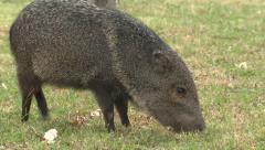 Javelina aka Peccary Feeding at Big Bend National Park in Texas Stock Footage