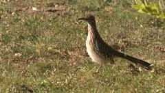 Greater Roadrunner at Big Bend National Park in Texas Stock Footage