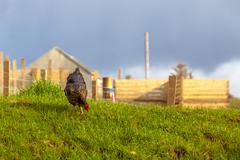 Highlander Black Hen Stock Photos