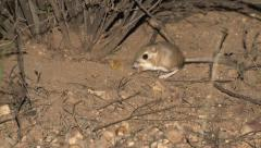 Kangaroo Rat in Desert at Big Bend National Park in Texas Arkistovideo