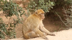 Monkey macaque in Morocco mountains slow motion 2 Stock Footage