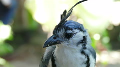 Close up of an White throated Magpie Jay Stock Footage