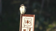 Tree Swallow Bird on U.S. Forest Service Trail Sign Stock Footage
