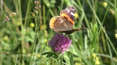 Butterfly on Clover in Summer Meadow Stock Footage