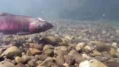 Red Sockeye Salmon Migrating Upstream over Riverbed Underwater Stock Footage