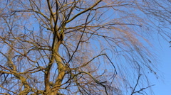 Last autumnal leaves on a weeping willow - blue sky, sunny - Zoom in Stock Footage