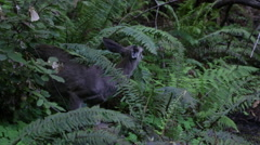 Wild Deer Fawn Baby in Redwood Forest Stock Video - stock footage