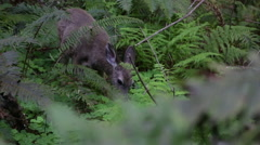 Wild Deer Fawn Baby in Redwood Forest - stock footage