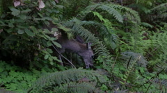 Young Deer Eating Plants in Redwood Forest California - stock footage