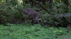 Deer Eating Plants in the Wild Redwood Forest in California - stock footage