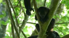 Howler monkeys sleeping in tree Stock Footage