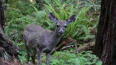 Wild Deer Fawn Baby in Redwood Forest Close Up Stock Video - stock footage