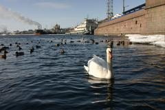 Stock Photo of One white swan on background of urban landscape.