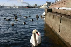 Wild white swan swimming in industrial area - stock photo