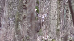 Deer giant ten point whitetail buck Stock Footage