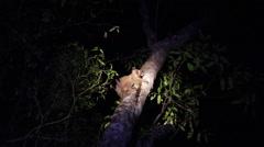 Sportive lemur Stock Footage