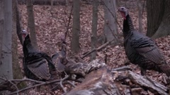 3 wild turkeys closeup Stock Footage