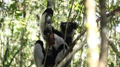 Indri lemur Stock Footage