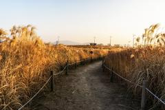 Wild reeds in haneul park - stock photo