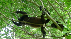 Howler monkey showing his white testicles Stock Footage