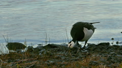 Wild Goose on a Lake Shore Stock Footage