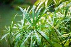 Tropical view. papyrus plants - stock photo