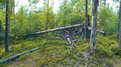 Felled Trees in the Forest Stock Footage