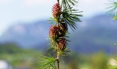 Branch with cones. Larix leptolepis, Ovulate cones of larch tree, spring - stock photo
