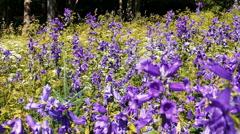 Beautiful Campanula Bellflower Violet Flowers Stock Footage
