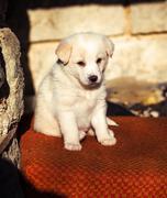 Adorable white shepperd dog puppy Stock Photos