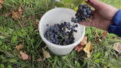 Grapes in a bucket Stock Footage