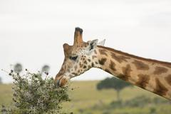 Rothchild's Giraffe eating from an Acacia Tree Stock Photos