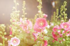 Beautiful hollyhock flower or althaea flower Stock Photos